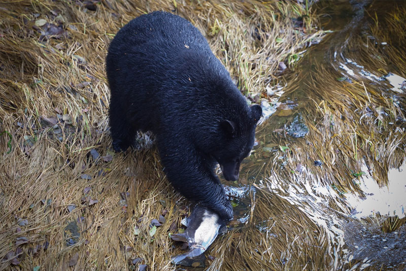 bears-whales-ucluelet-1